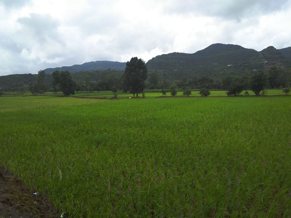 Monsoon and Green Agriculture Beauty In Nature Cloud - Sky Crop  Day Farm Field Green Color Growth Idyllic Landscape Mountain Nature No People Outdoors Rural Scene Scenics Sky Tea Crop Tranquil Scene Tranquility Tree