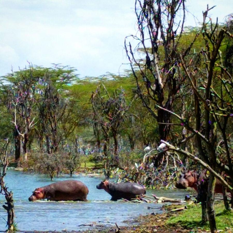 Water Swimming Animals In The Wild Animal Wildlife Hipopotam