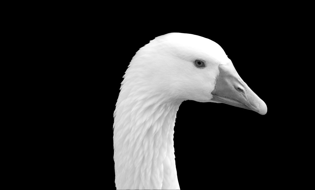 On Black Series - 5 Animal Portrait Animal Themes Animal Wildlife Animals In The Wild Bird Black And White Black Background Black Series Close-up Domestic Goose Geese Goose Isolated On Black No People On Black Series One Animal Outdoors Side View Water Bird Black And White Friday