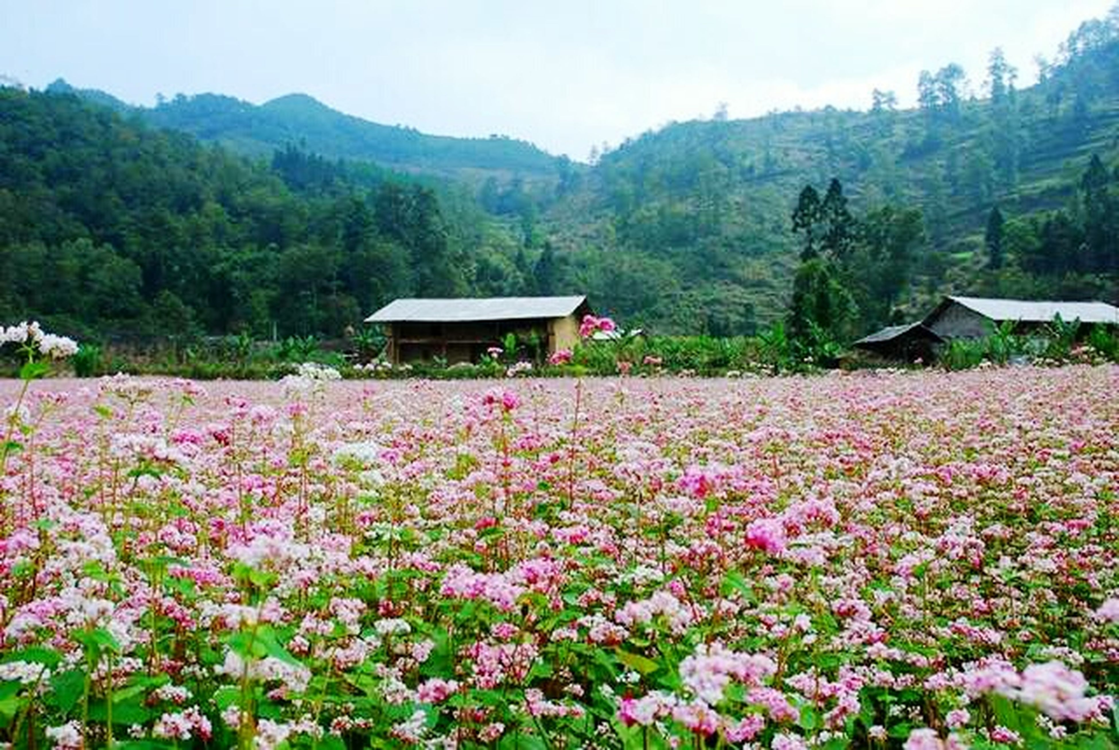 flower, mountain, beauty in nature, tree, growth, tranquil scene, nature, scenics, mountain range, tranquility, landscape, plant, house, freshness, sky, hill, day, idyllic, outdoors, non-urban scene
