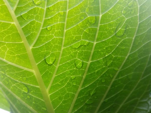 Below Close-up Closeup Green Hydrangea Leaf Leaves Nature Outdoors Plant Plants Rain Underneath Wet Plants Perspectives On Nature