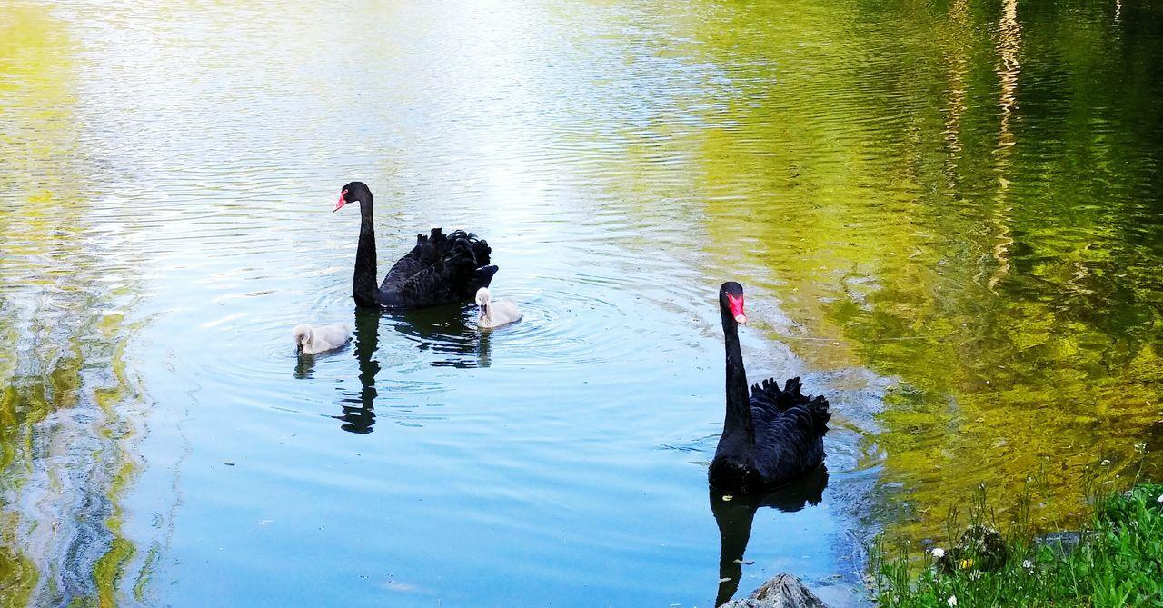 Black Swans Springtime Animal Family Animal Photography