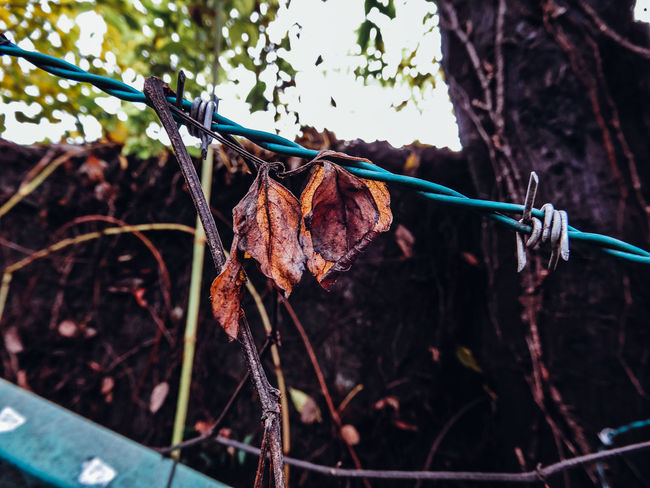 EVERYTHING THAT HAS A BEGINNING HAS AN END ◀️🍃🥀💀 Autumn Autumn Colors Barbed Wire Fall Beauty Hanging Melancholic The Week On EyeEm Winter Abstract Day Dead Leaves Faded Fall Fragility Leaves Nature Plant Still Life Twig Nature's Diversities Change Your Perspective Seasons Brown EyeEm Best Shots