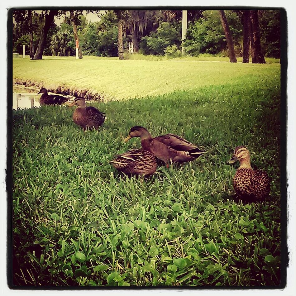 Love Ducks Hanging Out With Ducks DUCKS :)