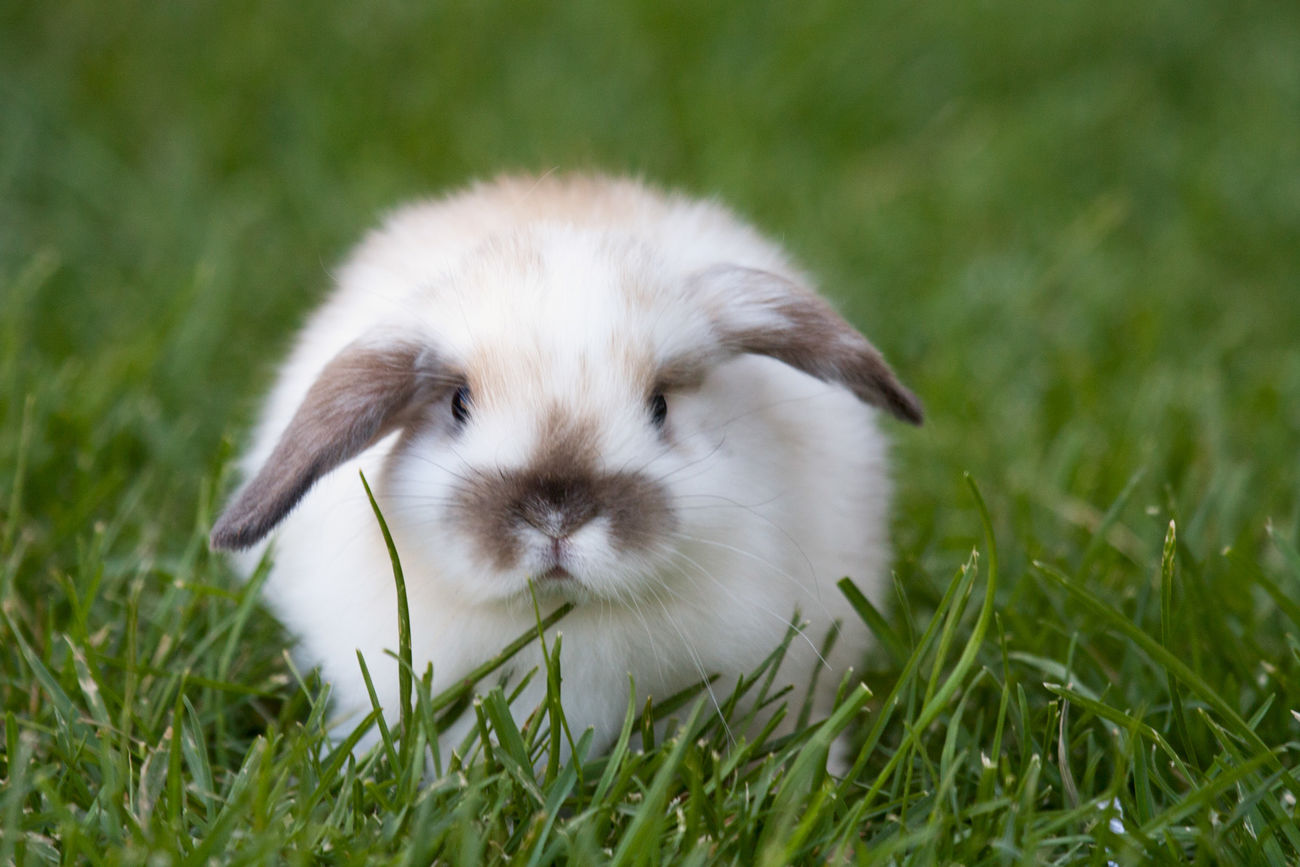Cutest bunny ever Grass Pets Outdoors Mammal Domestic Animals Beauty In Nature No People One Animal Animal Themes Day Bunny Love Bunny  Bunnies Rabbits Rabbit Ears Rabbit Face Rabbit Portrait Cutest Pets Cutest Pet Of The Day French Lop Rabbit Lop Eared Rabbit Bunny Rabbit Bunny Ears  Fine Art