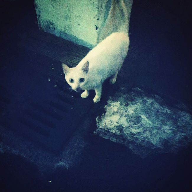Cat White cat Dark Cool 白貓 神秘 暗 看鏡頭