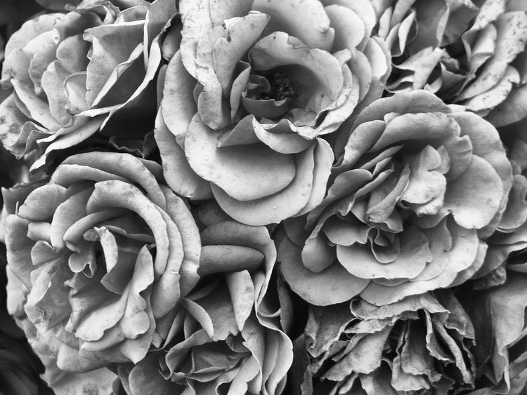 Black & White Pink Roses. Roses B&w Photography Not Pink Flower Collection B&w Flowers