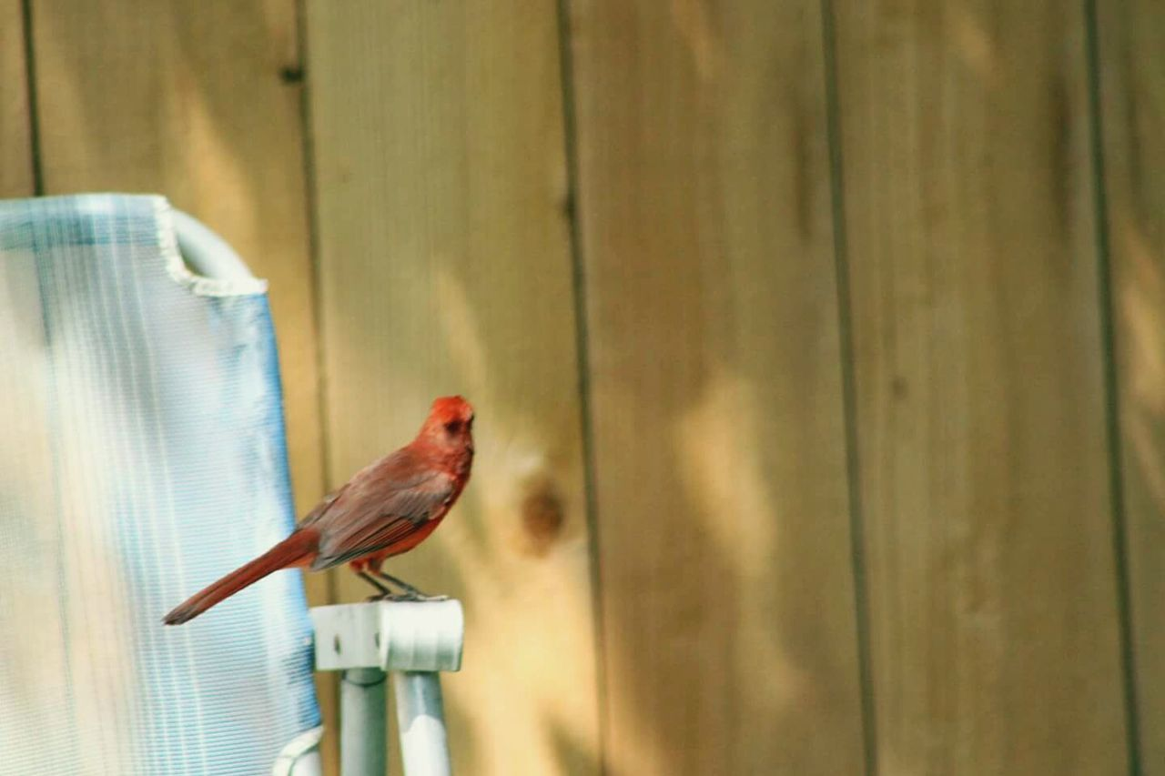 Perching Bird One Animal Animal Themes Animal Wildlife Cage No People Animals In The Wild Day Indoors  Beauty In Nature Close-up Popular Photos Sun And Shadows Things In My Back Yard Outdoors Nature Redbird