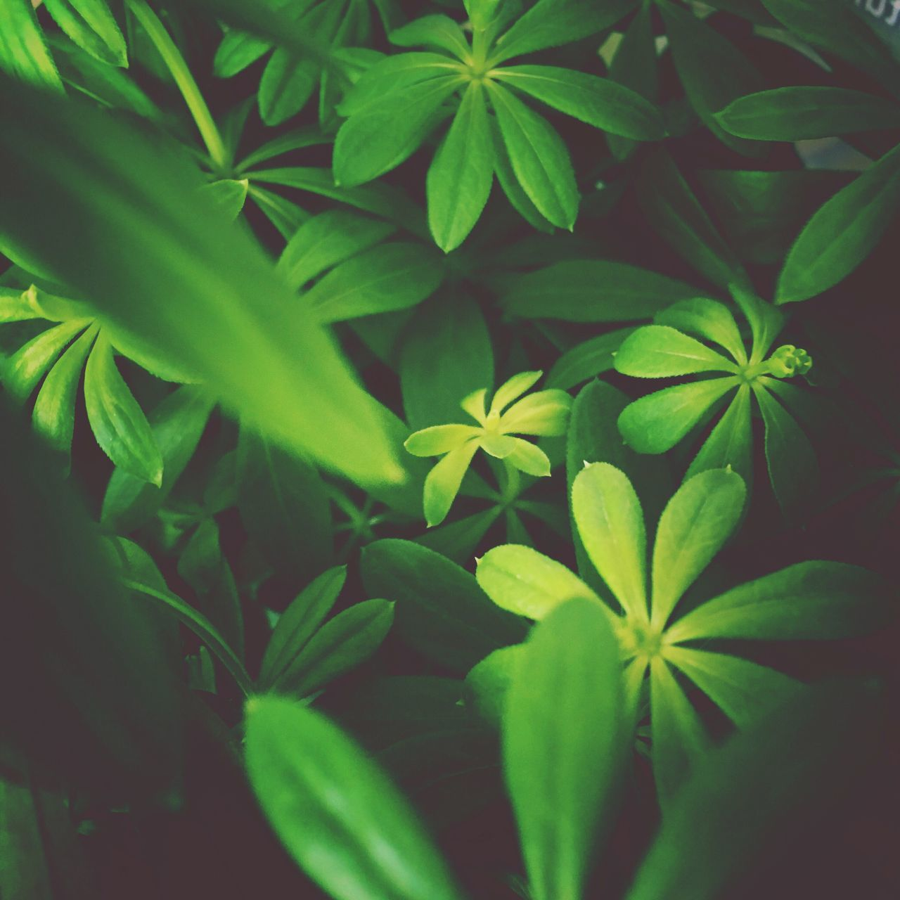 Woodruff Leaf Plant Growth Green Color Nature No People Fragility Beauty In Nature Close-up Outdoors Day Flower Freshness Periwinkle Flower Head Woodruff Herbs Spices