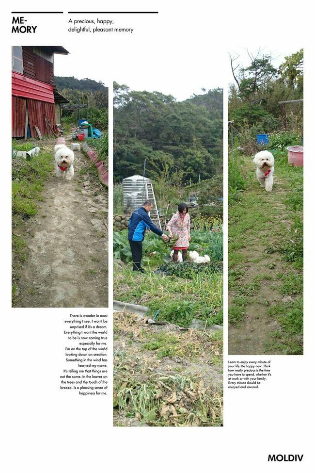 A happy Bichon family. Bichon Bichonfrise Dog Puppy Pet 狗 寵物 比熊 比熊犬 ビションフリーゼ