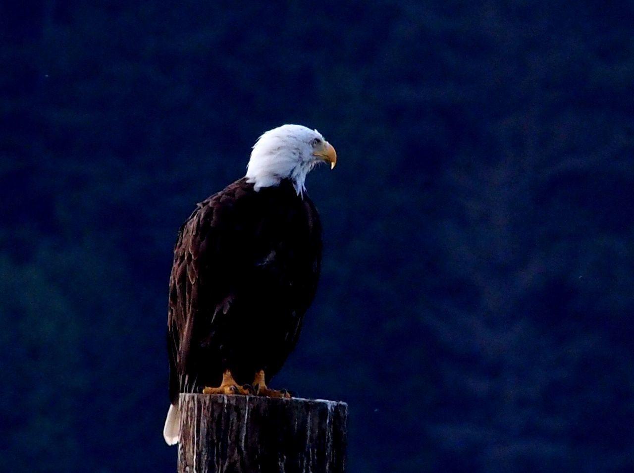 Beautiful stock photos of bald eagle, , Canada, Horizontal Image, Purple