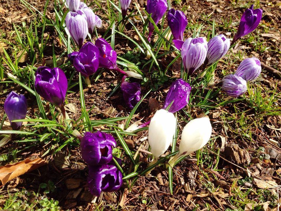 Spring Frühling Frühlingsboten Frühlingsblumen Springflowers Krokus Krokusse