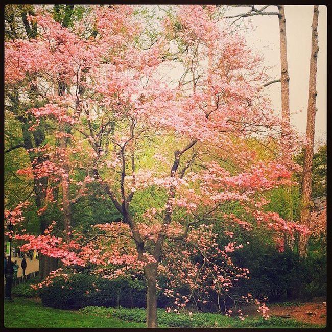 CentralPark Chrerryblossom Spring