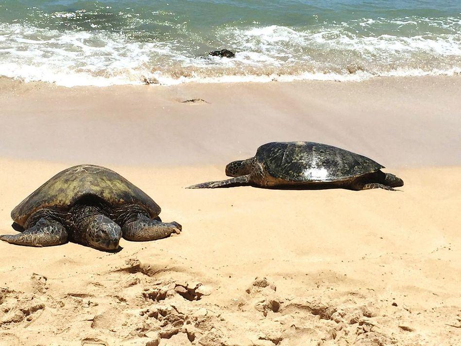 Turtle Sea Turtle Sea Turtle :) Turtles Hawaiian Green Sea Turtle Turtles(: Hawaii Oahu Oahu, Hawaii Oahuuuuu