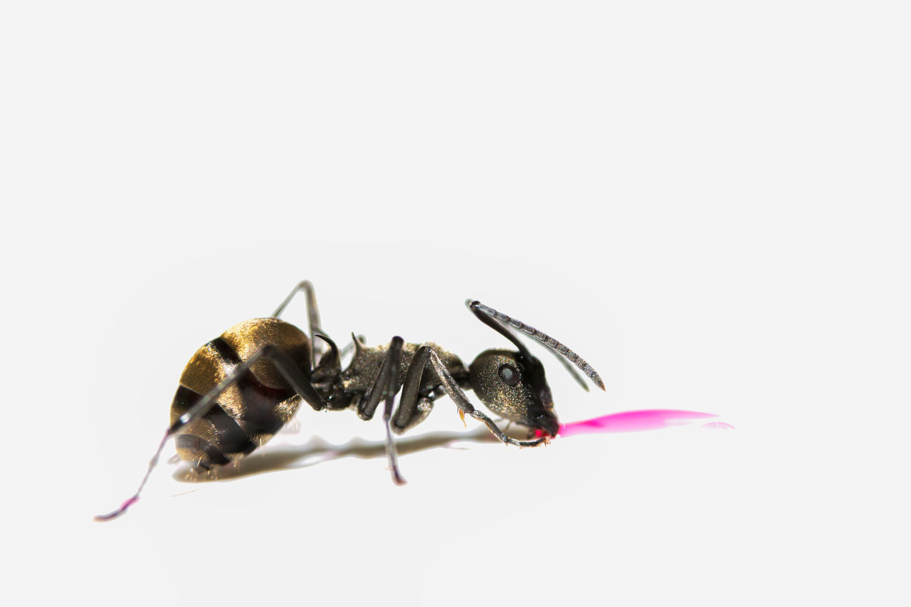 Extreme Close-Up Of Ant Feeding On Pink Liquid Against White Background