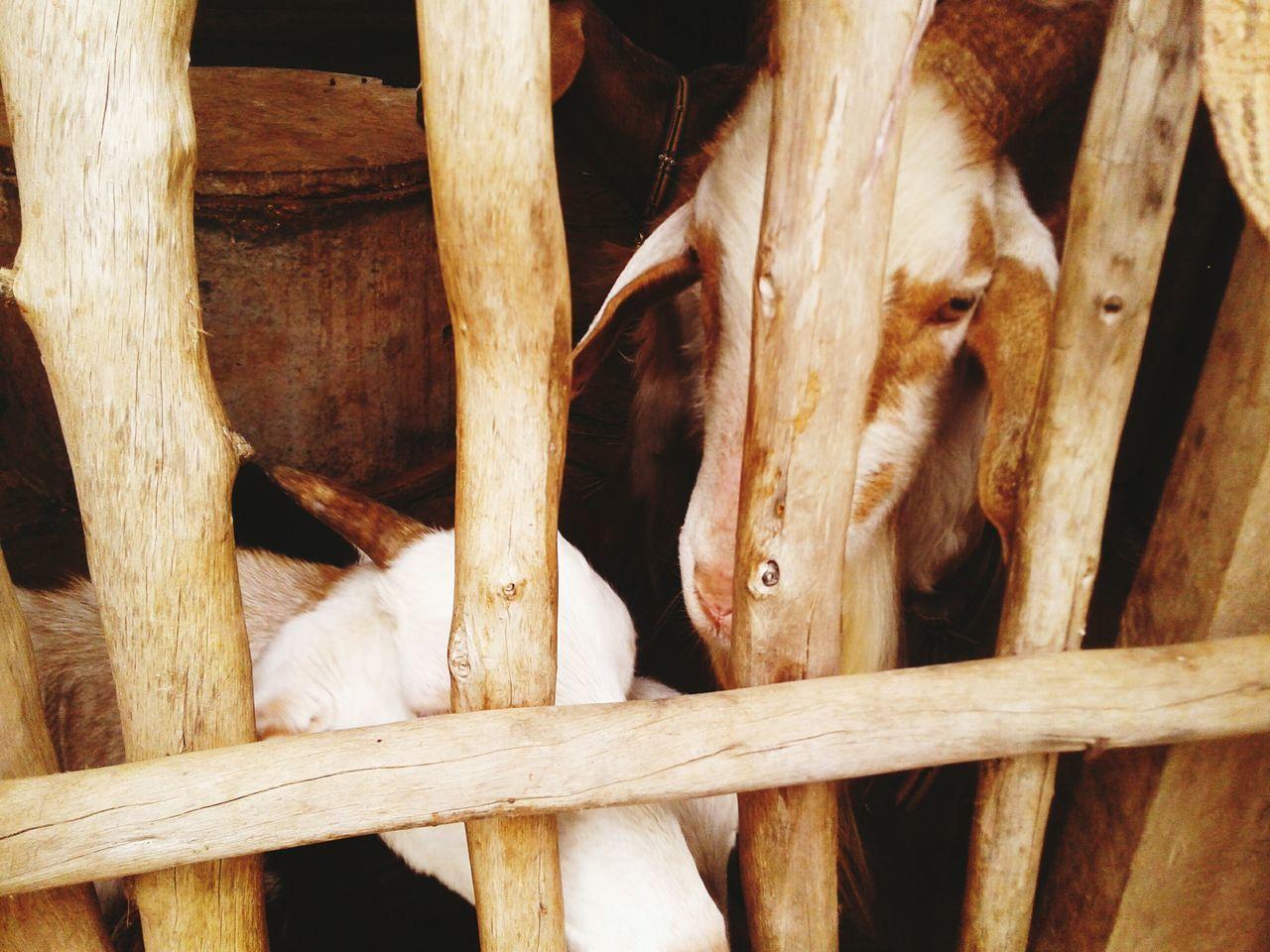 animal themes, mammal, domestic animals, livestock, no people, close-up, indoors, day, nature