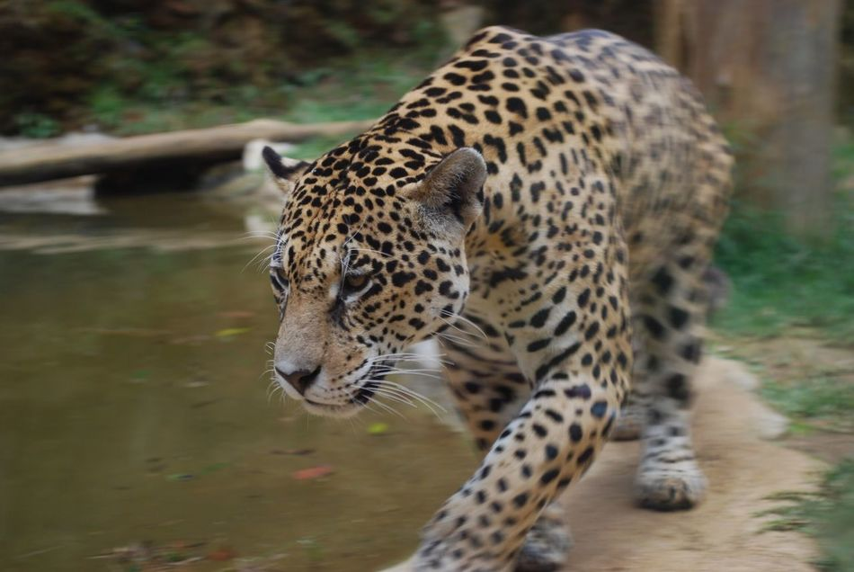 Beautiful stock photos of jaguar, Animal Markings, Animal Themes, Animal Wildlife, Animals In Captivity