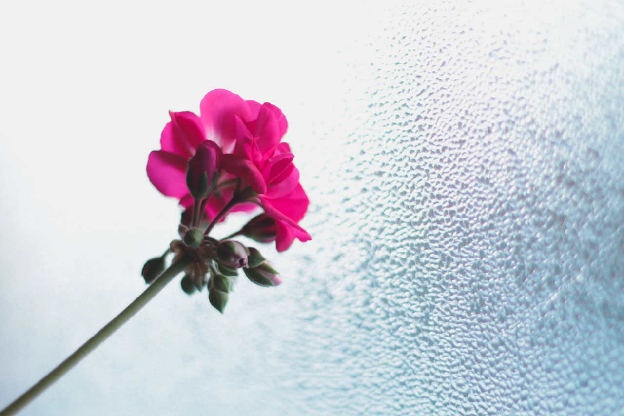 flower, fragility, petal, pink color, beauty in nature, nature, no people, close-up, freshness, growth, flower head, blooming, day, white background, outdoors, periwinkle