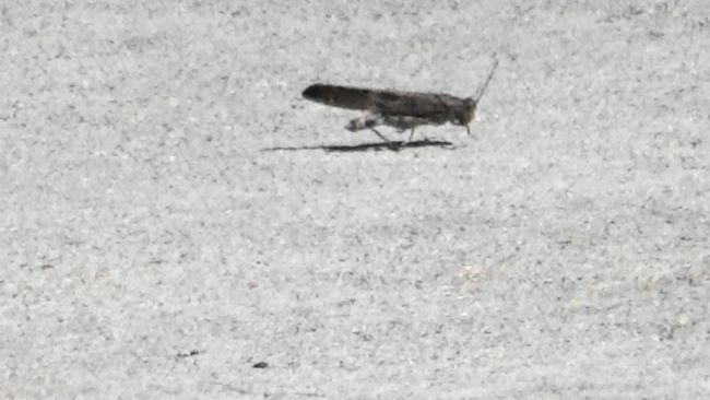 Cricket About to Fly Frame Capture Crickets Nature Sidewalk Sidewalk Photograhy Gold Camp Park Colorado Springs Colorado Colorado Photography