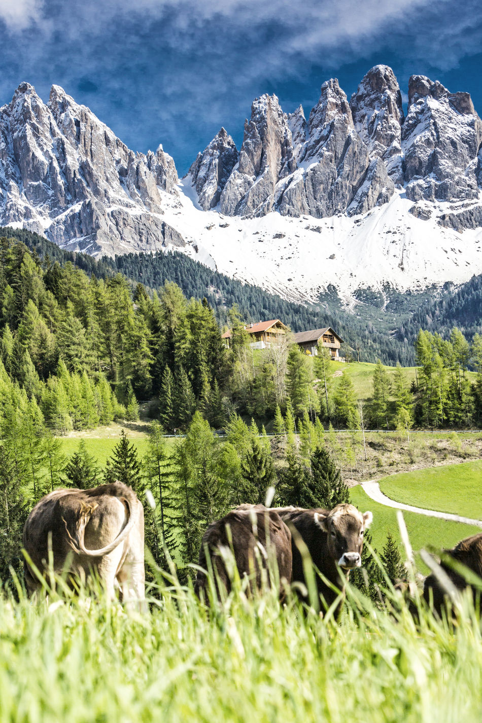 Spring at Villnöss valley with geisler group, Dolomites, South Tyrol Alm Alps Alto Adige Beauty In Nature Dolomites Funes Geisler Hiking Italy Meadow Mountain Range Odle Odles Pasture Puez-odle Rocks Seceda Snow Spring St. Magdalena Südtirol Vacations Val Di Funes Villnöss Villnöss