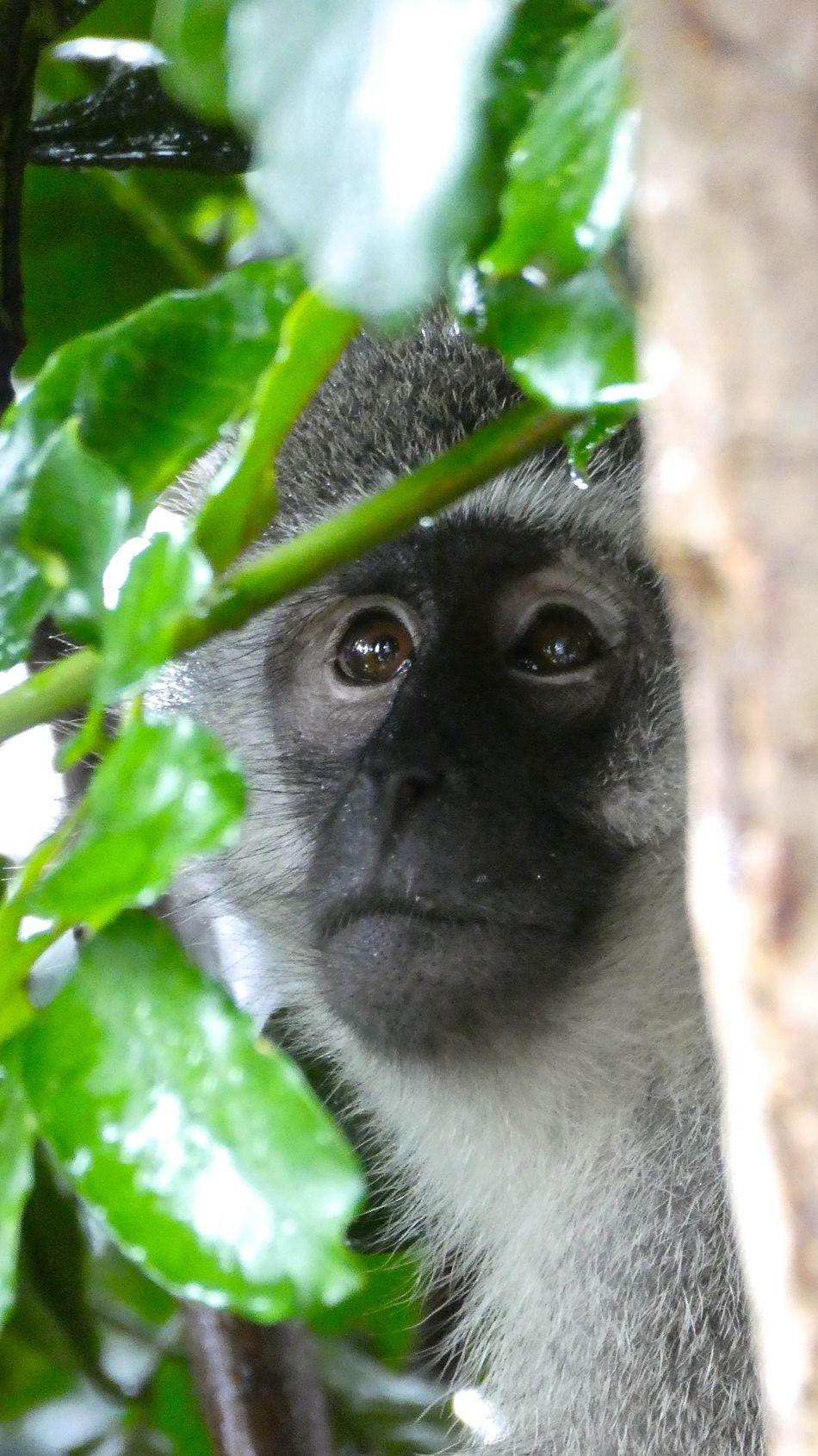 Affen Animal Themes Animals In The Wild Day Grünmeerkatze Grünmeerkatzen Mammal Monkey Monkeys Monkeys Rule Nature No People Outdoors Vervet Vervet Monkey Vervet Monkeys