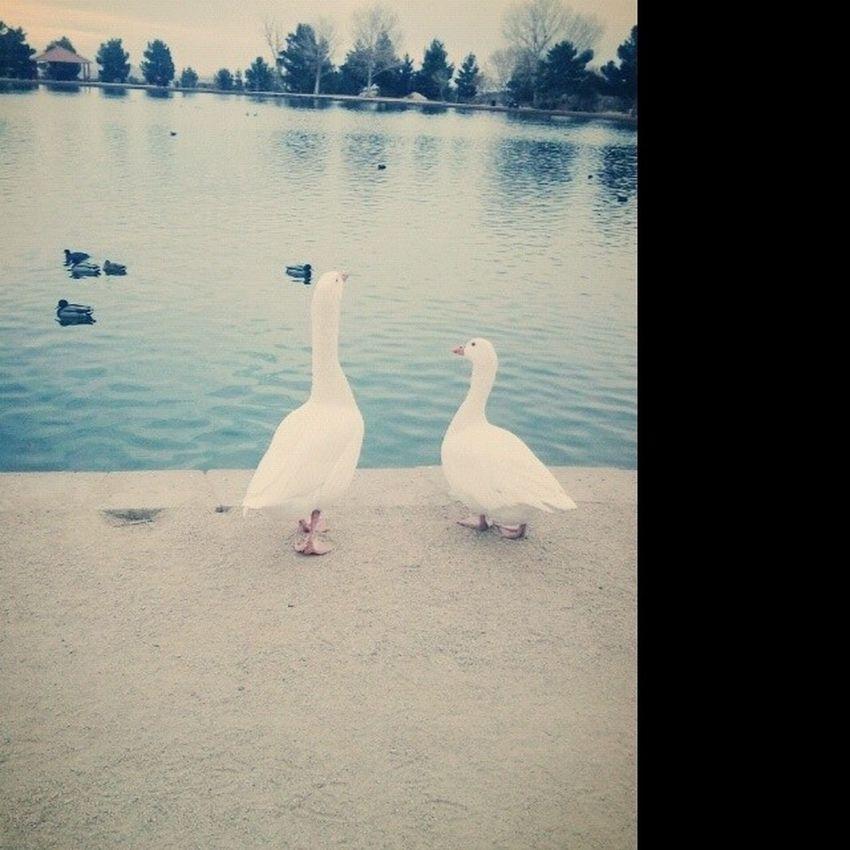 :) Ducks Sunsetpark Lasvegas Huge