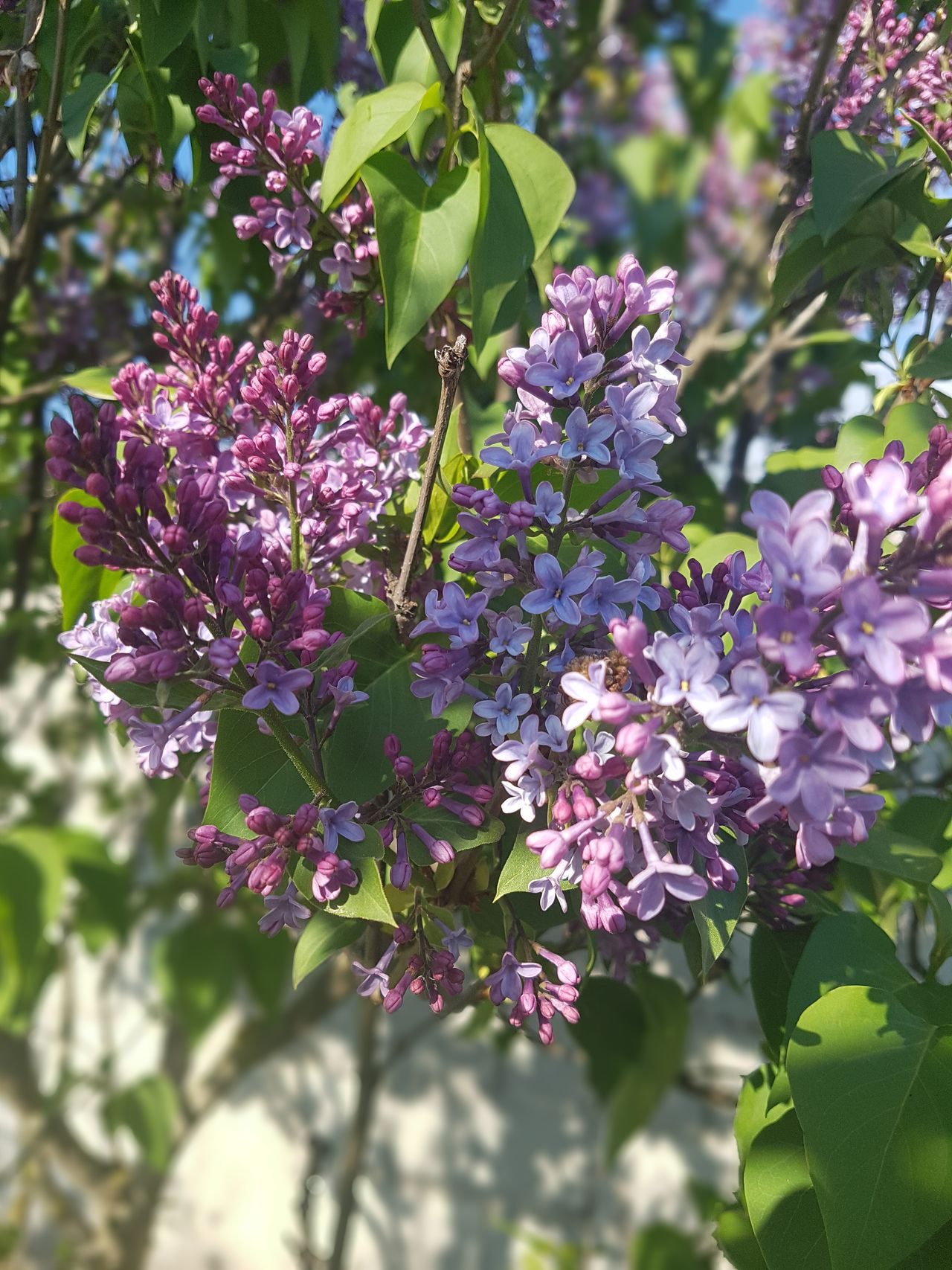 Flower Purple Beauty In Nature Day Outdoors Lilac