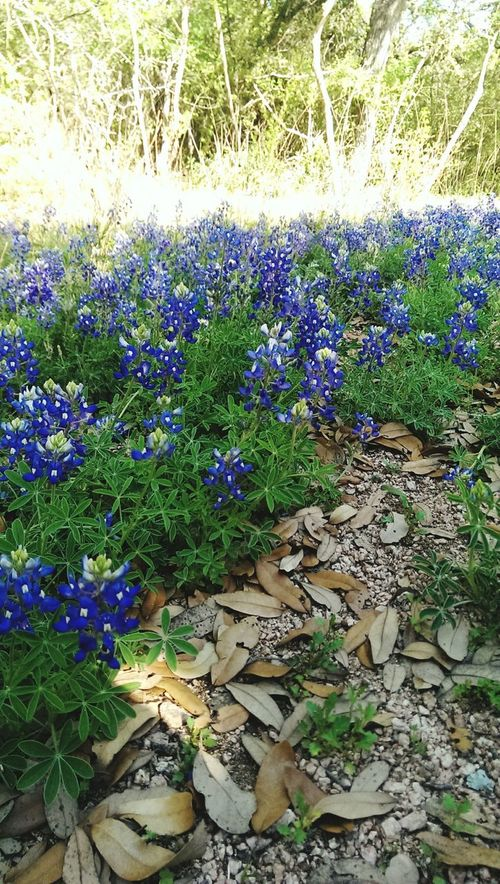 Flower Plant Close-up Nature In Bloom Blue Beauty In Nature Field Day Springtime Vibrant Color Outdoors Forest Sunlight Texas Wildflowers Texas Bluebonnets Wildflowers Bluebonnets