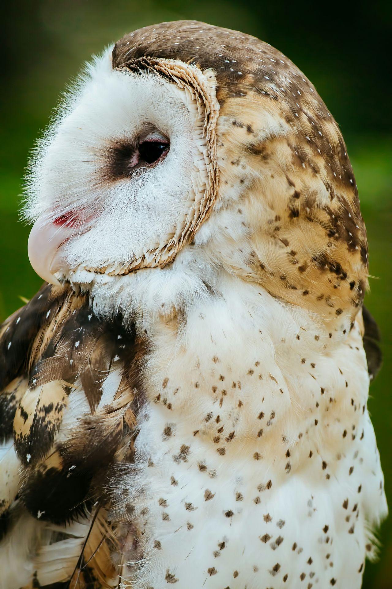 Beautiful stock photos of owl, Animal Body Part, Animal Head, Animal Themes, Animals In The Wild