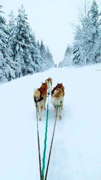 Winter Animal Wildlife Beauty In Nature Outdoors Snowing Snow Nature Husky Dog Cold Temperature Norwegen Norwegian Animals In The Wild Winter Wonderland Winter Sled Dog Sledging EyeEmNewHere