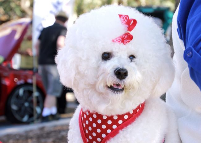 Bichon Frise Bichonfrise Bichon Bichon Frise Fluffy Dog Cute Pets Animal Themes Furry Friends Pet Pet Photography  Pet Love EyeEm Nature Lover Animal Photography Animals Canine Dogs Dog White Cute Dog  Cute Animals Closeup Close Up Close-up Australia Fluffy Colour Of Life
