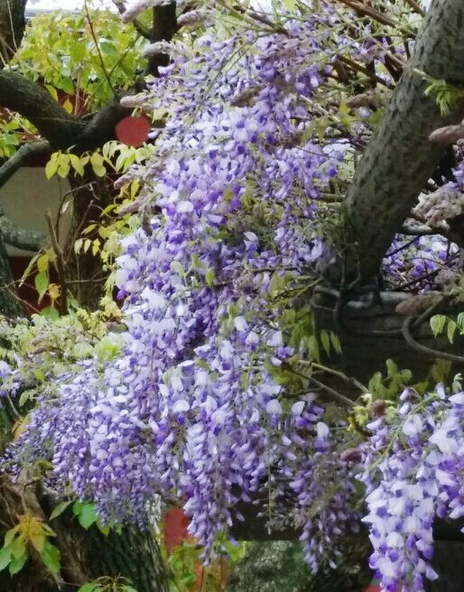 Whisteria @ temple side Spring Has Arrived Simply Beautiful Fragrance Of Flowers Shitennoji Osaka,Japan