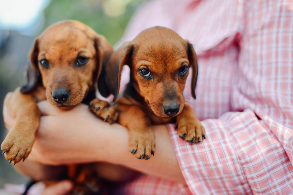 Beautiful stock photos of animals,  Animal Themes,  Close-Up,  Cute,  Dachshund