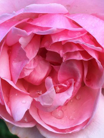 Rainy day Roses ARoseIsARose EyeEm Nature Lover Tadaa Community Tadaa 🌹 Mygarden Homeandgarden