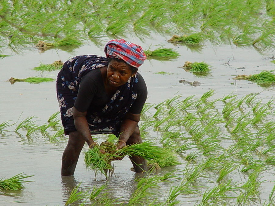 India Rice Woman Agriculture Beauty In Nature Day Field Full Length Grass Growth Lifestyles Nature One Person Outdoors Plant Raconets Real People Rice Paddy Water Young Adult