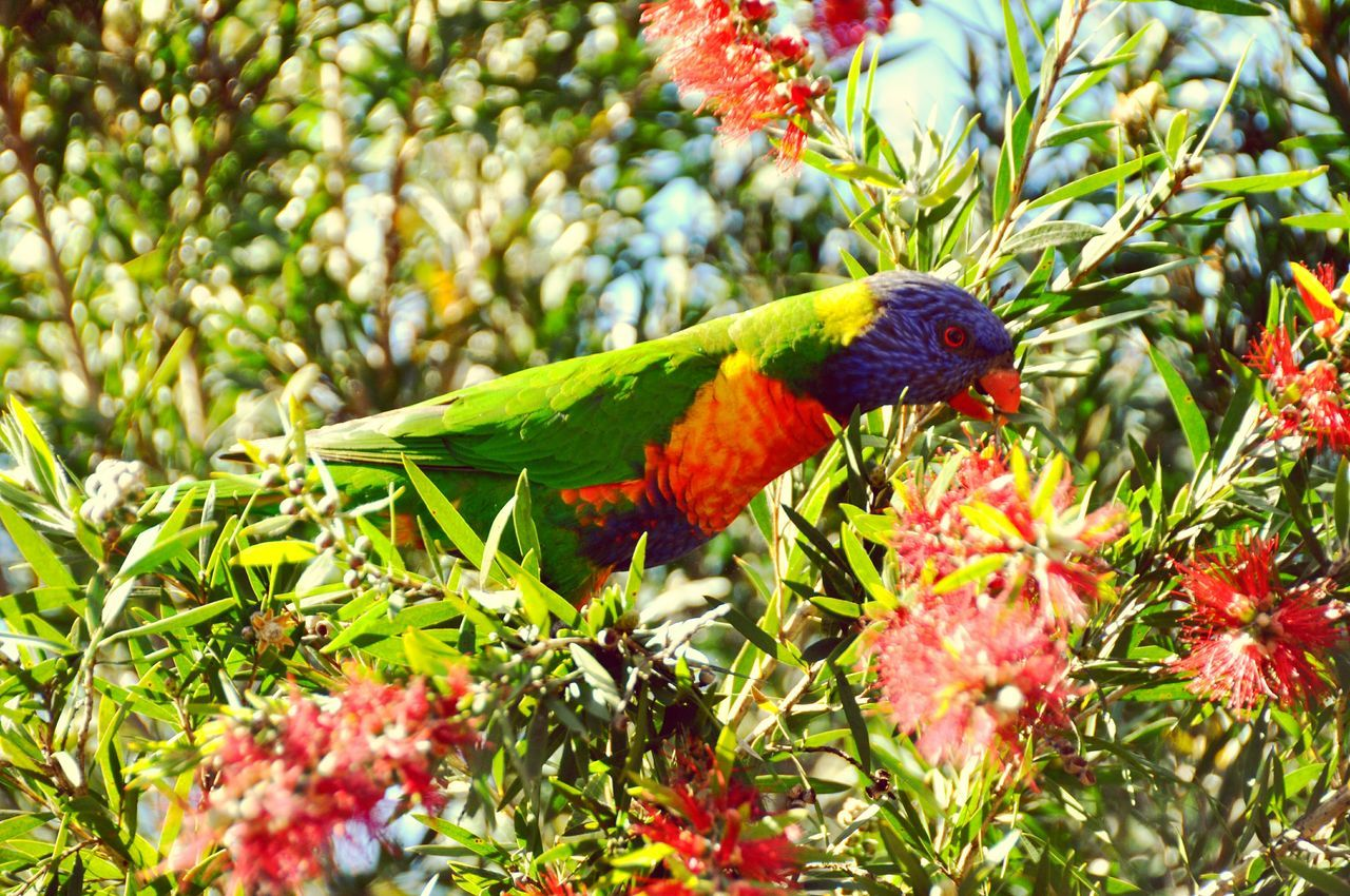 animals in the wild, animal themes, one animal, nature, animal wildlife, beauty in nature, growth, no people, outdoors, leaf, perching, day, green color, flower, red, bird, tree, plant, branch, rainbow lorikeet, parrot, fragility, close-up