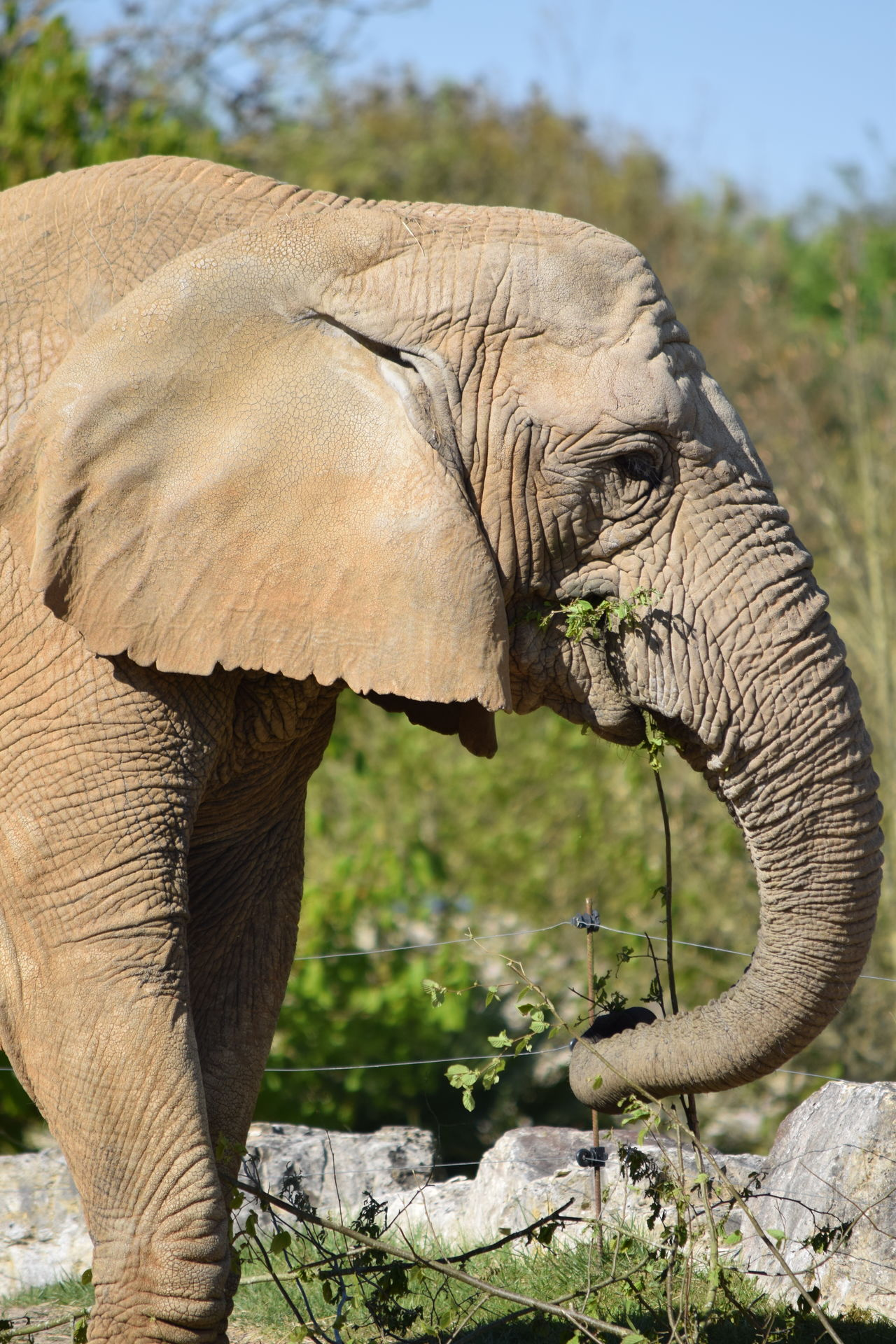 elephant African Elephant Animal Themes Animal Trunk Animal Wildlife Animals In The Wild Close-up Day Elephant Focus On Foreground Mammal Nature No People One Animal Outdoors Safari Animals Side View Tusk