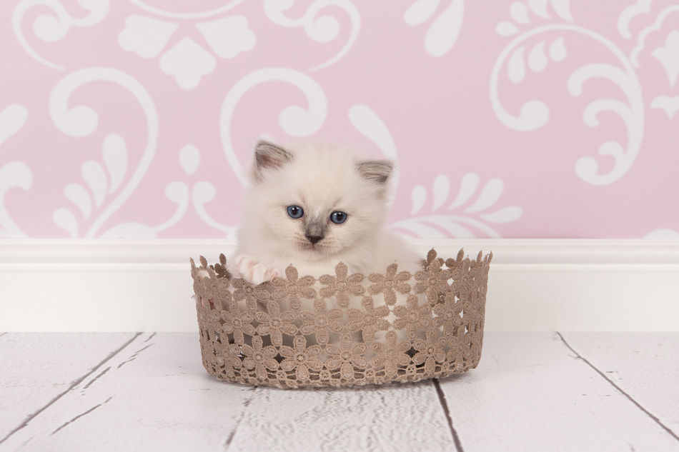 Beautiful stock photos of baby katzen,  Basket,  Blue Eyes,  Close-Up,  Cute