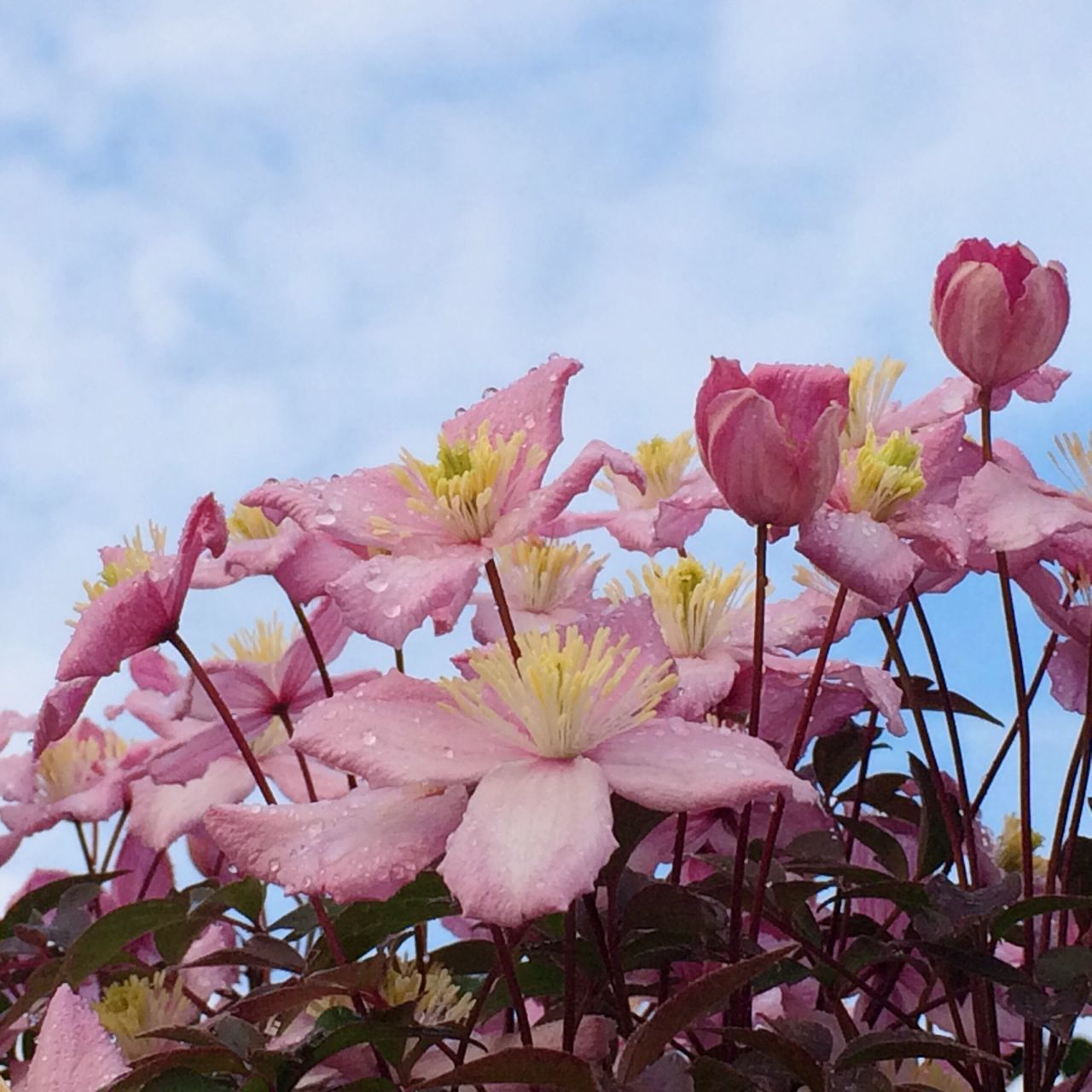 flower, fragility, beauty in nature, petal, growth, nature, freshness, pink color, flower head, blossom, no people, springtime, plant, sky, outdoors, blooming, stamen, day, low angle view, close-up