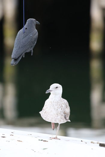 Animal Themes Animals In The Wild Bird Black And White Black Versus White Error Not The Real Thing Odd Couple Outdoors Plastic Buddy Plastic Friend Pretending Replacement Seagull Wrong Friend
