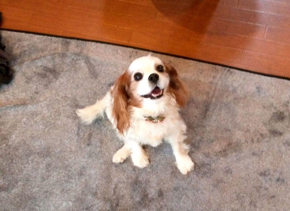 Cavalier King Charles Spaniel Ckcs Dog Mydog Cute Cute Pets Cherry Japan