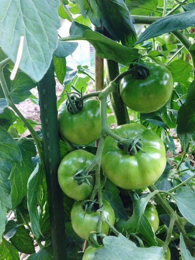 今年のトマト Taking Photos Enjoying Life Relaxing 農業 緑 畑