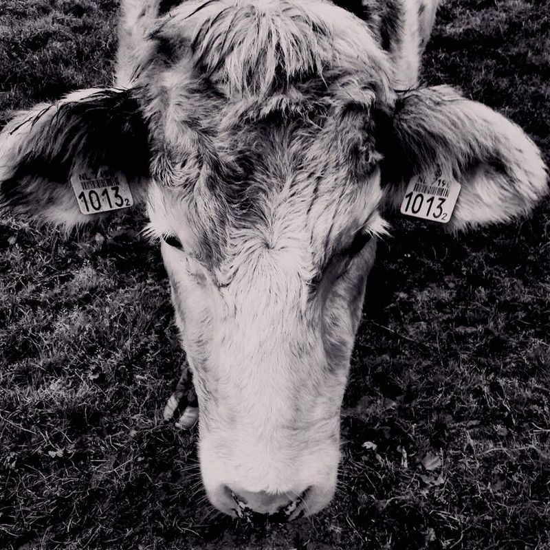 B&w Black And White Blackandwhite Photography Animal Animal Photography Cow Agriculture Farm Life Tags Cows Head