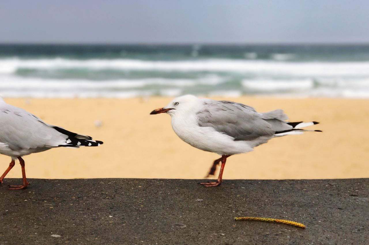 Bird Animal Themes Animals In The Wild Animal Wildlife Sea Seagull Black-headed Gull Focus On Foreground Perching Sea Bird Outdoors One Animal Water Day Nature Beach Close-up No People Beauty In Nature