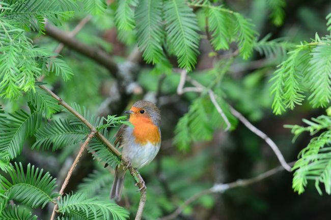 Bird Animal Themes Robin Nature One Animal Animals In The Wild Branch Green Color Perching Animal Wildlife Tree Outdoors Beauty In Nature Day Close-up No People