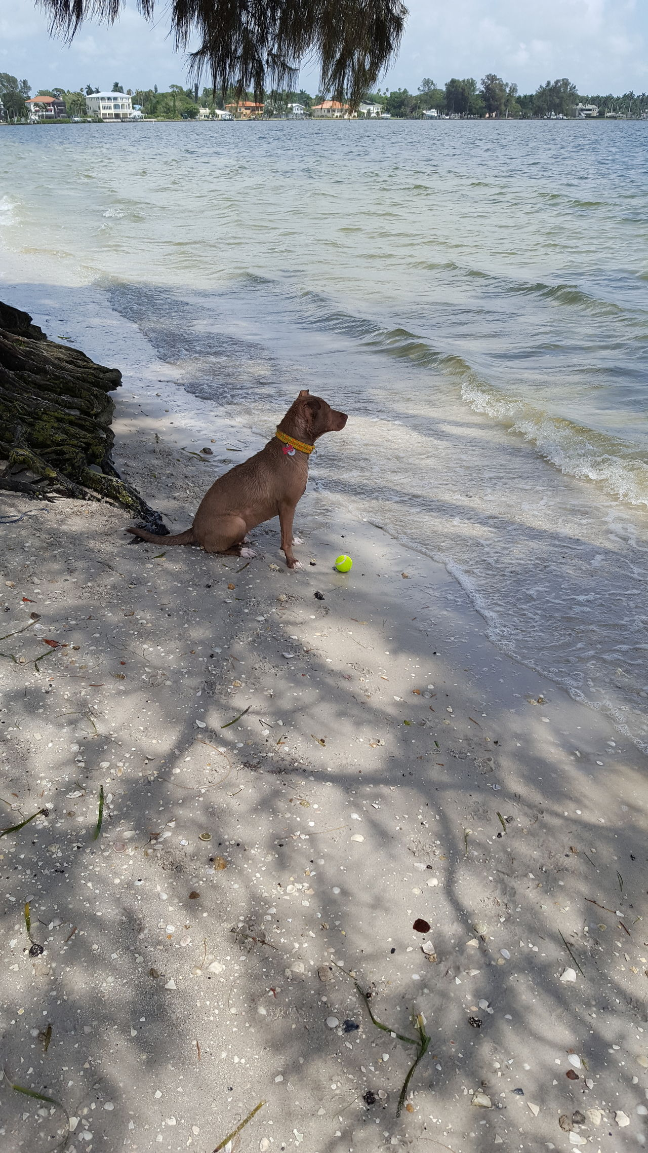 Looking for Dad Looking For Dad Honey Bear Patiently Waiting Palma Sola Tennis Ball Pitbull Lives Matter Pitbull Love Beach Life Love My Girl Loving Life  Florida Life