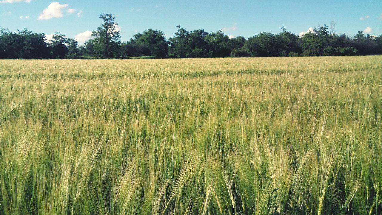 Growth Farm Tree Nature Field Agriculture Cereal Plant Sky Tranquil Scene Rural Scene No People Cloud - Sky Beauty In Nature Landscape Outdoors Day Wheat Hello World Open Edit OpenEdit Привет всем Hola! My Photography Привет всем! Place Where I Live