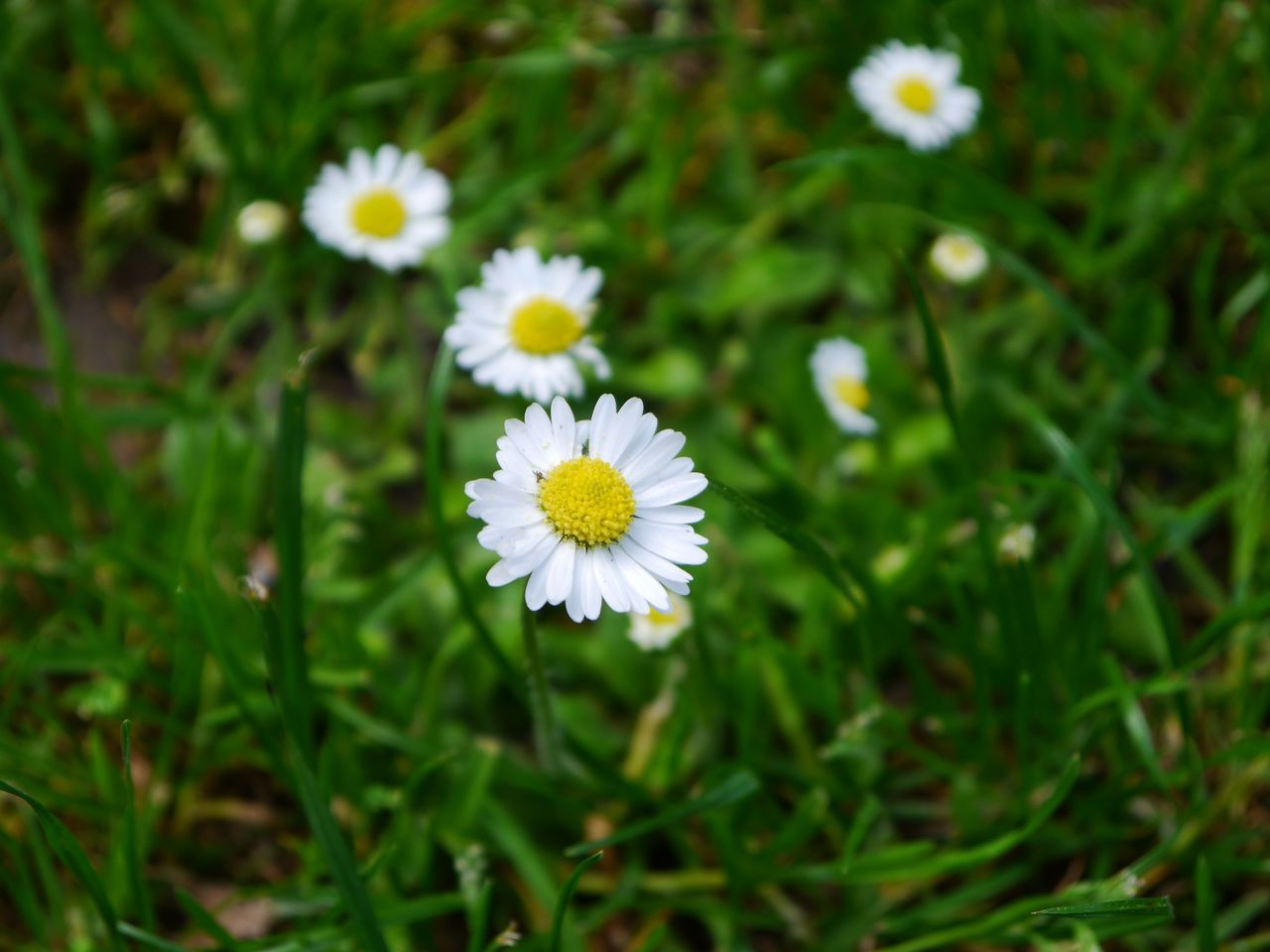 High Angle View Of White Daisies Blooming On Field