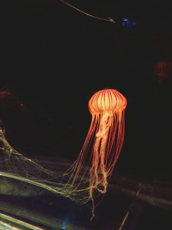 Jelly Fish Cool Japan Silhouette