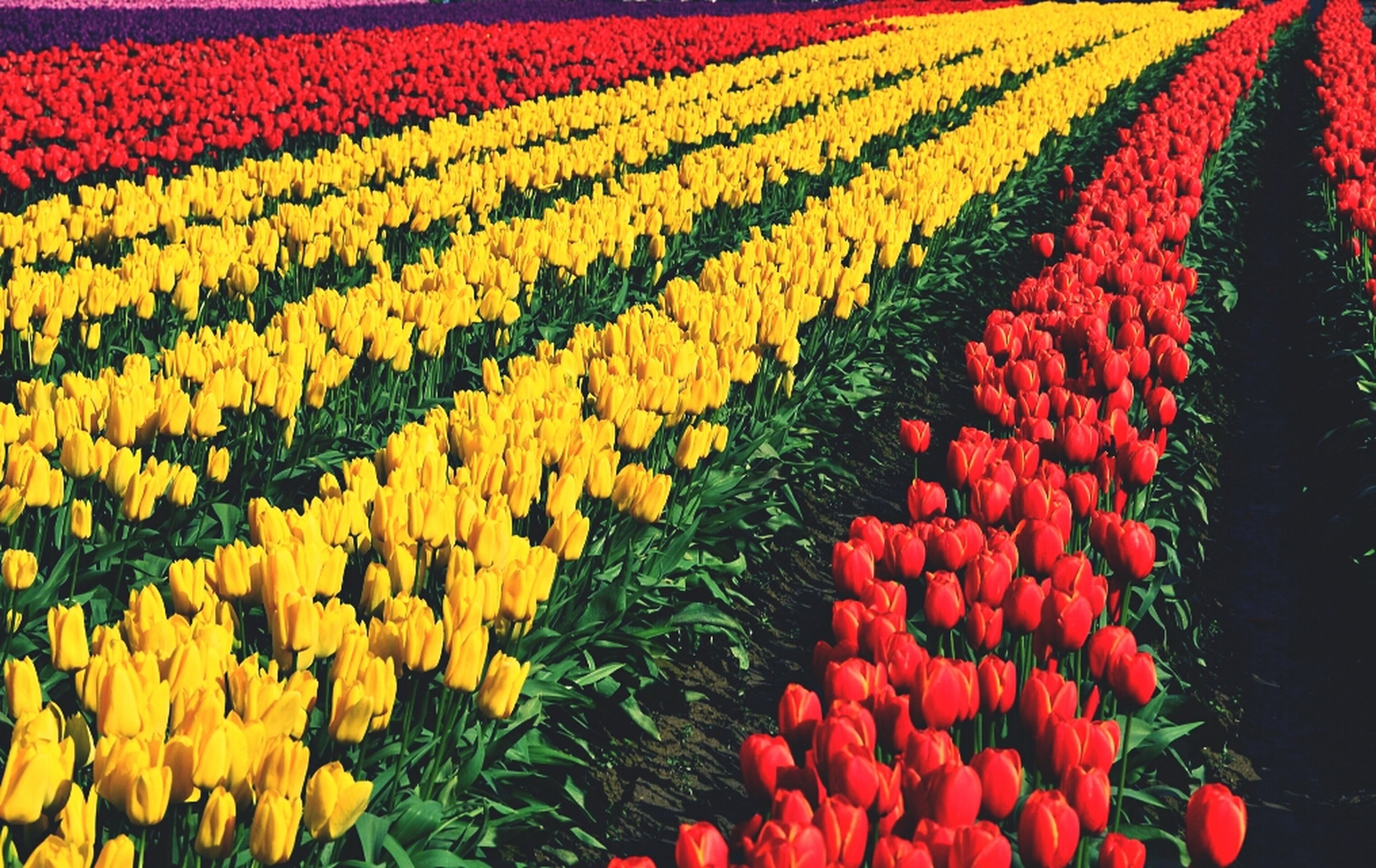abundance, flower, full frame, multi colored, field, red, backgrounds, tulip, growth, flowerbed, freshness, beauty in nature, colorful, high angle view, agriculture, variation, fragility, large group of objects, nature, yellow